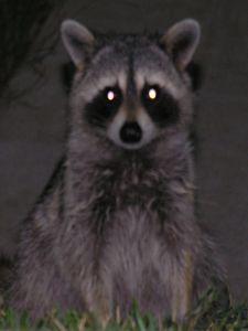 raccoon-at-night-san-juan-islands-washington.jpg