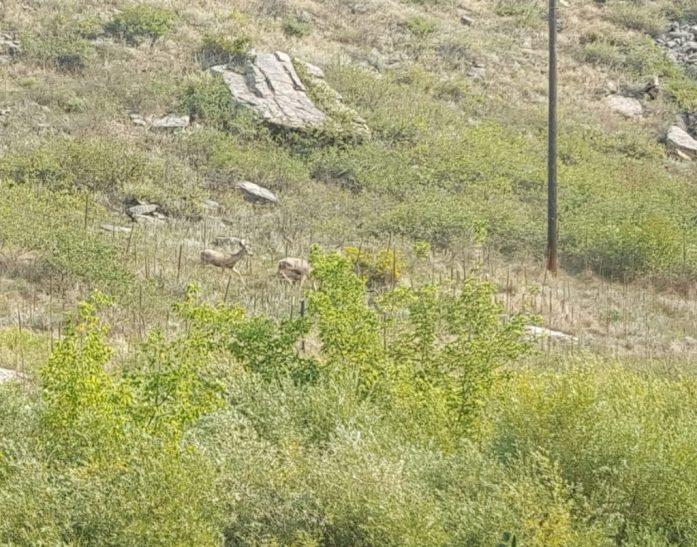 Bonus nature spotting! Mule deer by the stream