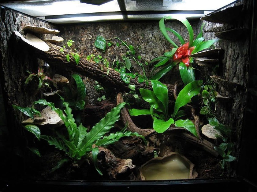Green Tree Frog Tank Size care