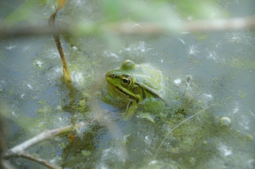 water for tree green frog care