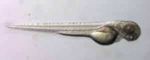 newsletter-zebrafish-03