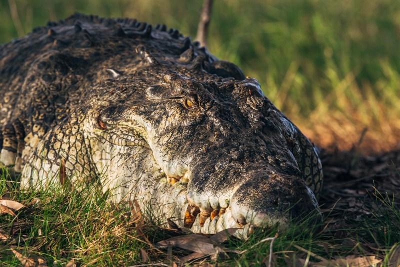 Saltwater Estuarine Crocodile, Northern Territory, in a scene from 'Australia- Retrun of the Crocodile' - PHOTO Wild Pacific Media