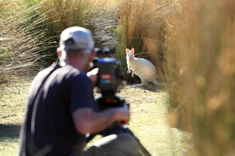 Peter Nearhos ACS films a White Wallaby for 'David Attenborough's Tasmania' - PHOTO Matt Hamilton, Terra Mater