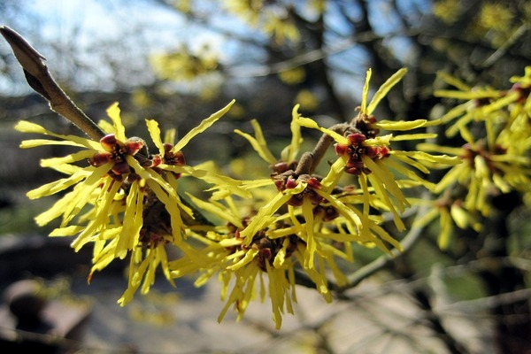 witch hazel for forehead pimples