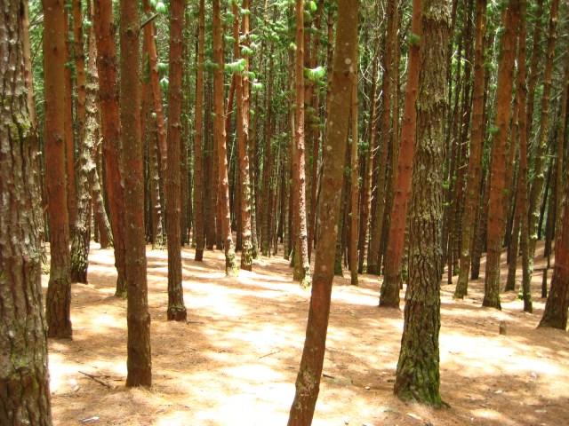 Pine_forest,_Kodaikanal.jpg