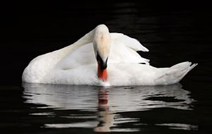 swan looking down at water that bears its reflection