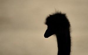 ostrich silhouette
