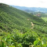 Foto de plantação de café