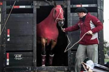 Foto de animal chegando para a Expointer