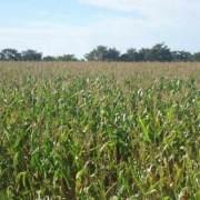 Foto de plantalçai de milho
