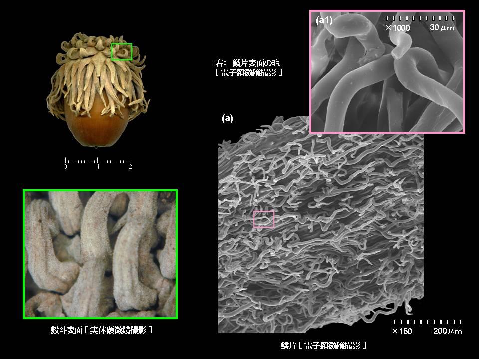 コナラ亜屬に見る殻斗の鱗片