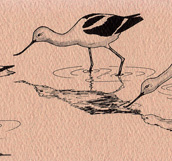 American Avocet  Bookmark