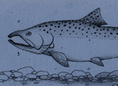Chinook Salmon Bookmark