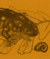 Spotted Salamander Bookmark