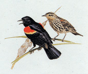 Red-Winged Blackbirds Stationery