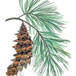 White Pine Notecard