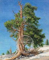 Bristlecone Pine Lokta Card
