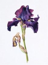 Bearded Iris Lokta Card