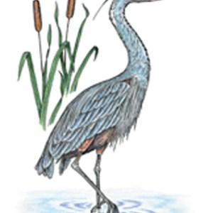 Great Blue Heron Notecard