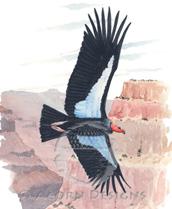 California Condor Lokta Card