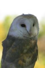 Barn owl, ecology courses