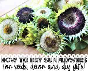 How to Dry Sunflowers for Gifts, Seeds & Keeping