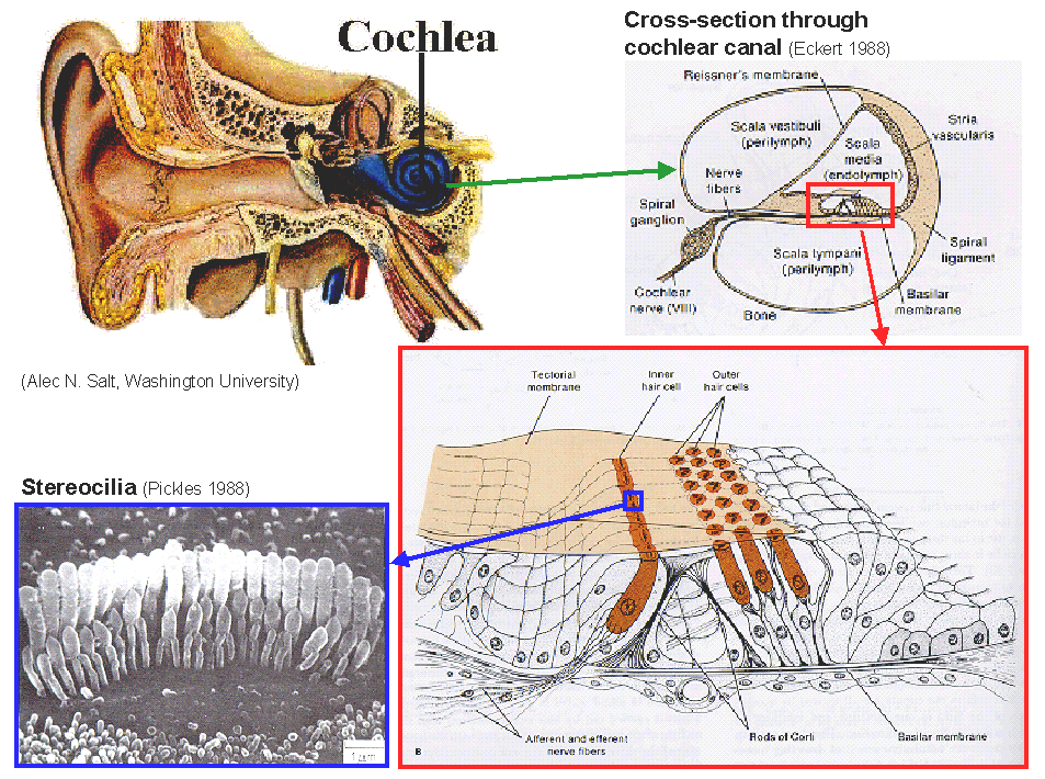 Cross Section Cochlea