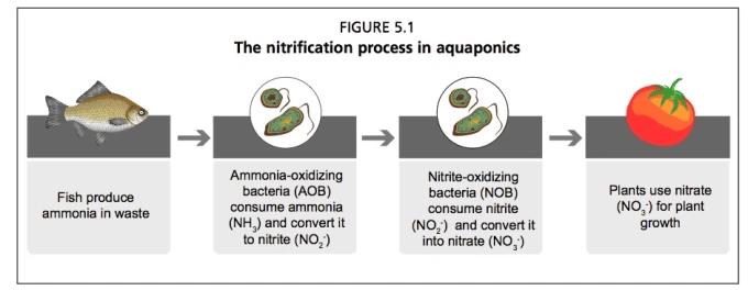 Il ciclo dell'azoto in acquaponica. ph acquaponica. Processo di nitrificazione in acquaponica. Il ciclo dell'azoto. I pesci producono ammonio tramite i loro scarti. L'ossidazione del'ammoniaca per merito dei batteri AOB consumano ammonio e li convertono in nitriti. L'ossidazione dei nitriti da part dei batteri consumano nitriti e li convertono in nitrati. Le piante utilizzano i nitrati NO3 per crescere