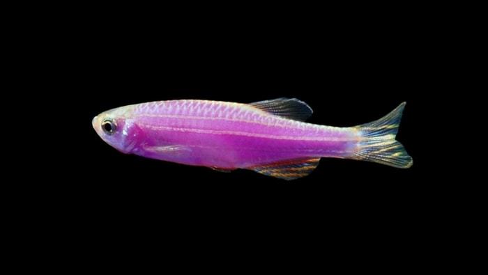 Danio rerio Glofish