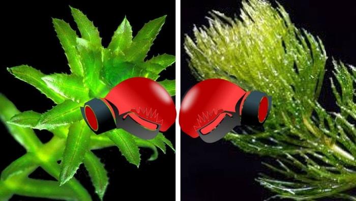 allelopatia piante acquatiche