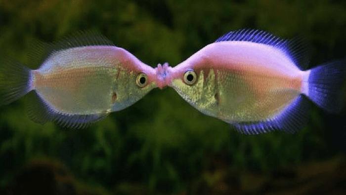 pesce sbaciucchione
