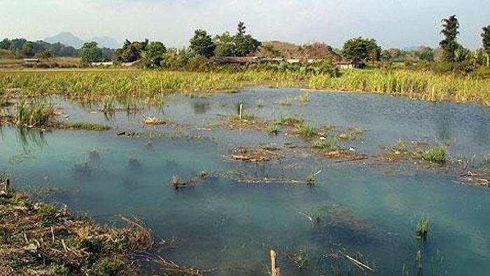 myanmar zone palustri Celestichthys margaritatus