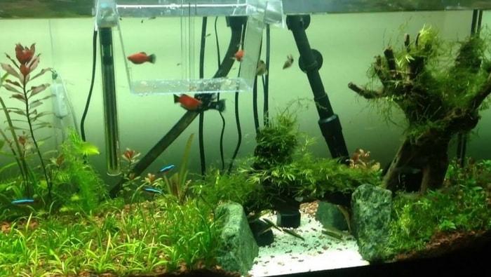 Sala parto acquario la guida per salvare i tuoi avannotti for Sala parto pesci