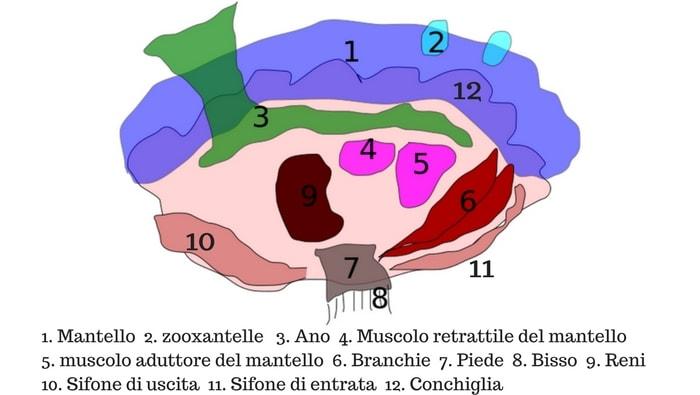anatomia tridacna
