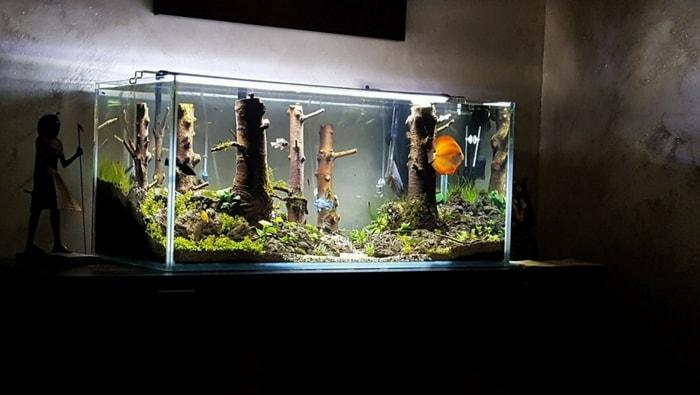 Il pesce discus il re dell acquario d acqua dolce tutti i