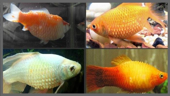 Idropisia pesci: sintomi, cura e trattamento