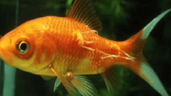 pesce rosso con lernaea femmine
