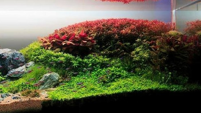 ammania aquascape