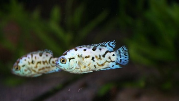 Ciclasoma Octofasciatum - Jack Dempsey giovani