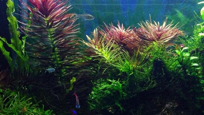 Limnophila Aromatica in acquario
