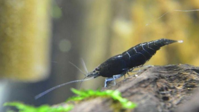 Neocaridina Davidi variedad Black