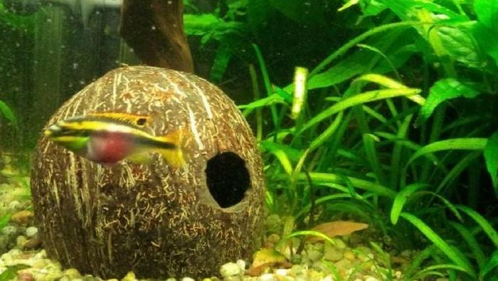Pelvicachromis pulcher noce di cocco