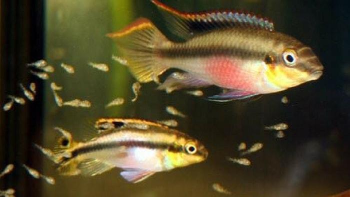 Pelvicachromis pulcher avannotti