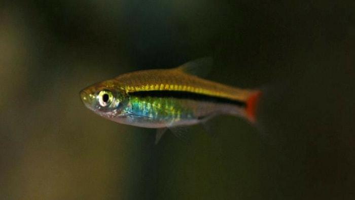 Rasbora Borapetensis