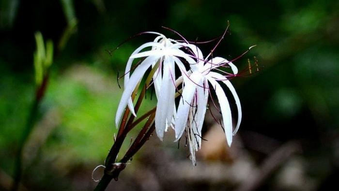 Crinum thaianum fiore