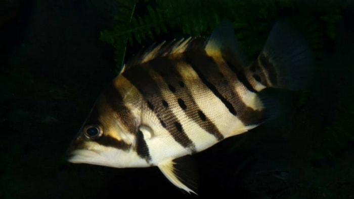 Datnioides microlepis un pesce asiatico per acque dolci e for Un pesce allevato in acque stagnanti