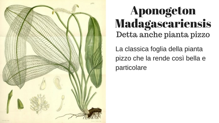 Aponogeton madgascariensis (Syn. Ouvirandra fenestralis)