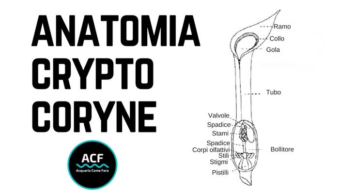 Anatomia Cryptocoryne