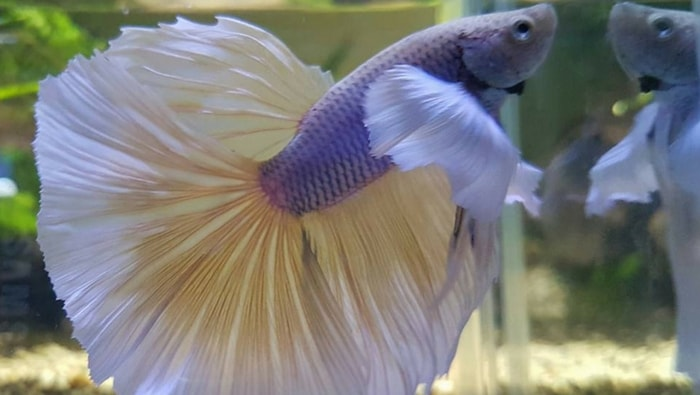 Betta Splendens Over-Halfmoon