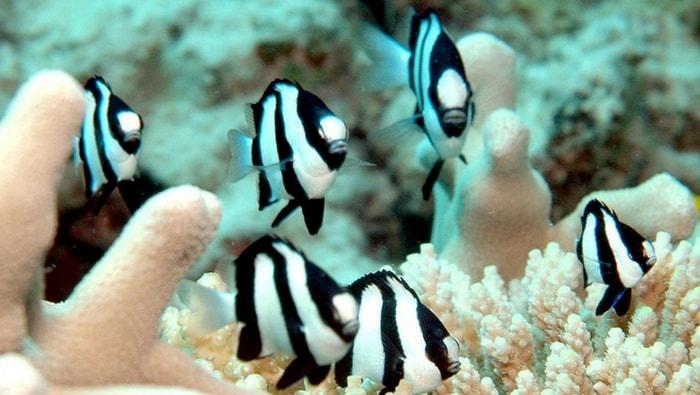 Dascyllus aruanus in gruppo
